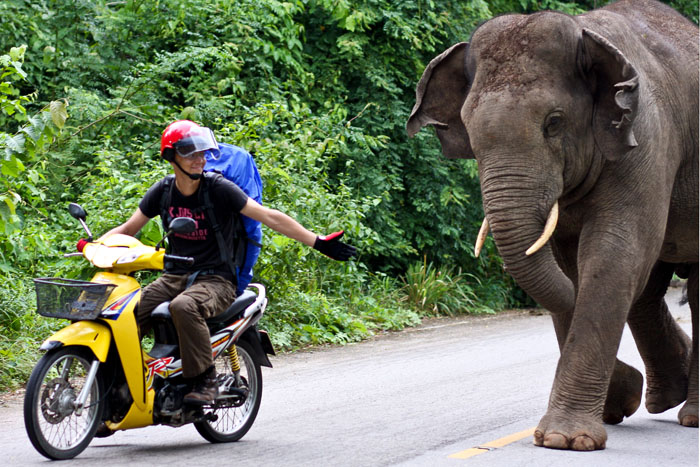 Villinorsu hyökkää Thaimaassa