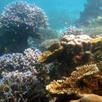 ko-surin-korallia-pieni