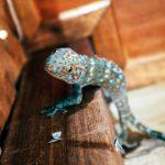 Ko Taolta voi löytää kämppäkaveriksi vaikka gekkoliskon. Kuva: